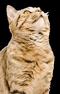 ipah-cat